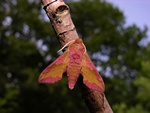 Small Elephant Hawk-moth (Deilephila porcellus)